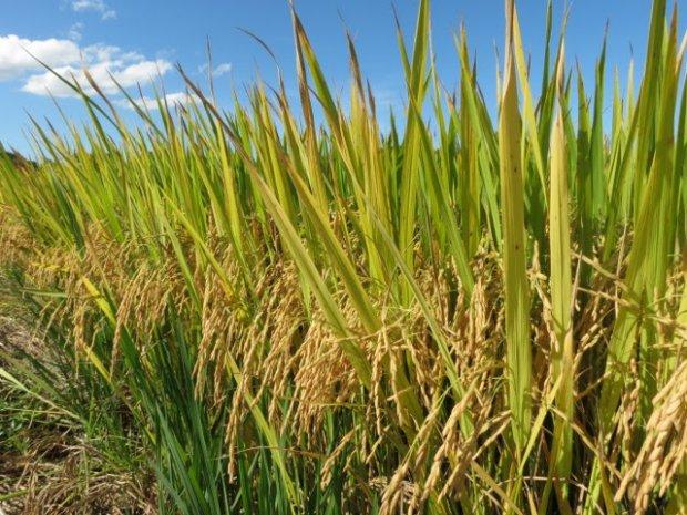 Epagri lança novo cultivar de arroz nesta sexta-feira